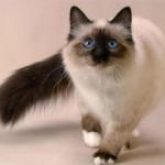 Сиамская кошка: описание породы и харакетра, фото