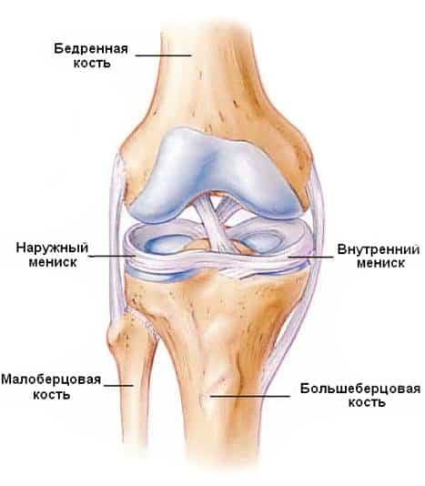 Строение колена и менисков